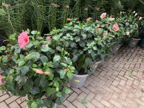 Ibišek , Hibiscus. 100 cm, keřík