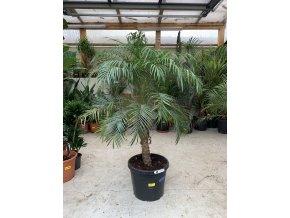 Phoenix roebelenii, Trpasličí datlová palma  150 cm