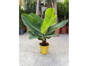 Banánovník kanárský, musa acuminata, dwarf cavendish. 50 cm