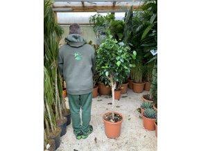 Ficus Benjamina , benjamín, kmínek, původ rostliny Španělsko 150 cm