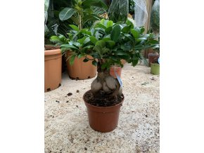 Ficus microcarpa compacta 50 cm