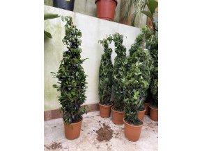 Ficus Benjamina , benjamín, stromek 110 cm