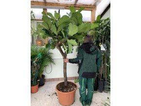 Ficus lyrata, stromek, 200 cm