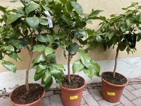 Grepovník , citrus paradisi.180 cm
