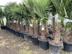 Trachycarpus fortunei, výška 150 cm, kmen 40 cm