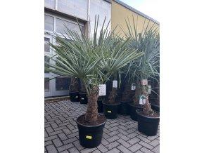 Trachycarpus fortunei, výška 155 cm, kmen 40 cm