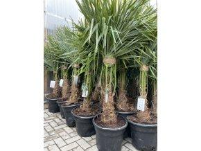 Trachycarpus fortunei, výška 165 cm, kmen 40 cm