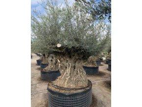Olea europea, výška 200cm, obvod kmene 250 cm