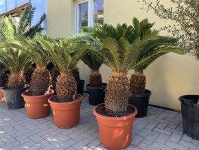 Cycas revoluta, Cykas revoluta, kmen 30 cm+