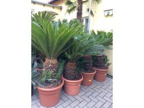 Cycas revoluta, Cykas revoluta, původ Španělsko. 130-150 cm