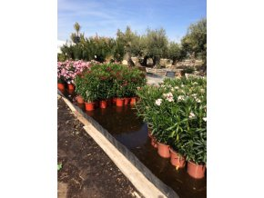 Nerium Oleander - Oleandr, původ rostliny Španělsko. 70cm