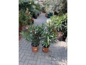 Nerium Oleander - Oleandr, původ rostliny Španělsko. 70+ cm