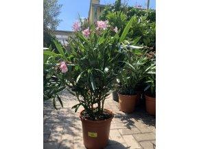 Nerium Oleander - Oleandr 50+ cm
