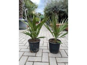 Chamaerops humilis, Trpasličí palma, Žumara, 50 cm.
