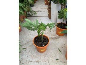 Papaya 50 cm