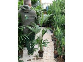 Howea Forsteriana , palma , 100 cm