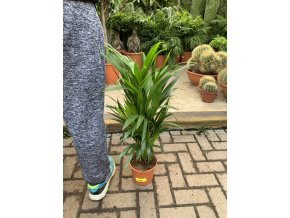Areca lutescens, chrysalidocarpus, dypsis. 50 cm