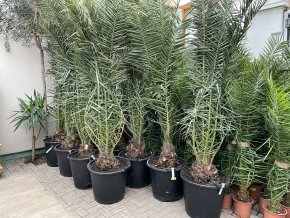Phoenix canariensis,Datlová palma,240 cm