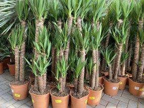 Yucca elegans, juka, původ rostliny Španělsko. 120 cm
