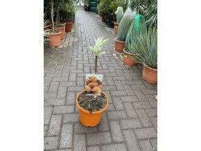 eriobotrya japonica,mišpule, 100 cm