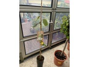 Annona cherimola, chirimoyo  100 cm