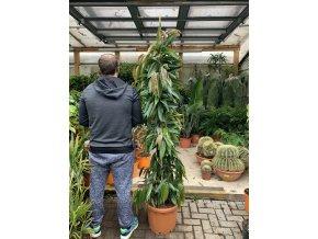 Ficus Amstel King, původ rostliny Španělsko. 180 cm