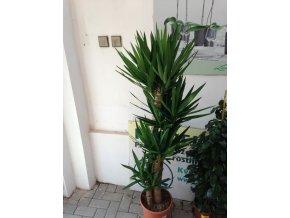 Yucca elegans, juka, původ rostliny Španělsko. 160 cm