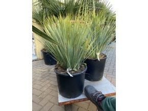 Yucca Rostrata, původ rostliny Španělsko  30 cm