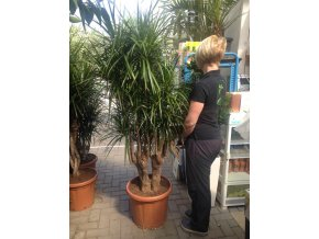 Dracaena marginata, dracena, původ rostliny Španělsko 170 cm