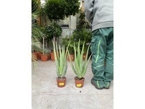 Aloe Vera, původ rostliny Španělsko.50 cm