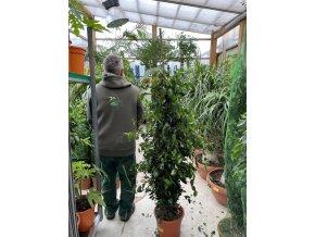 Ficus Benjamina keřík 150 cm