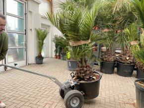 Jubaea chilensis, Chilská palma, původ palmy Španělsko. 160