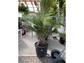 Jubaea chilensis, Chilská palma, původ palmy Španělsko. 170