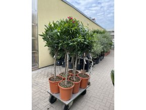 Nerium Oleander - Oleandr 150 cm, stromek
