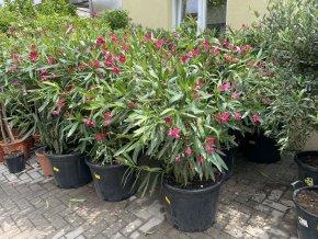 Nerium Oleander - Oleandr 150 cm