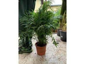 Chamaedorea elegans, původ palmy Španělsko. 60 cm
