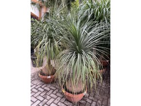 Beaucarnea guatemalensis, Sloní noha 170 cm +