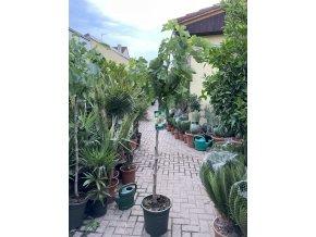 Ficus carica, fikovník 170 cm