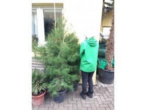 Pinus pinea, borovice pinea, původ rostliny Španělsko.