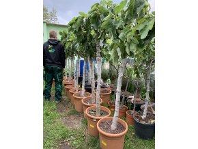 Ficus carica, fíkovník. 150-170 cm