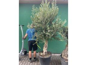 Olea europea - Olivovník 270 cm +, starý kmen