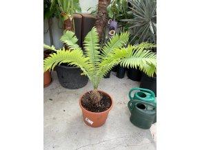 Dioon spinulosum 80 cm