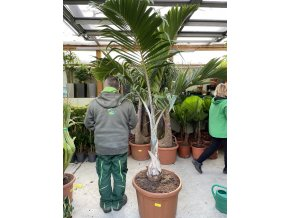 Hyophorbe Leganicaulis, lahvová palma, 200 cm