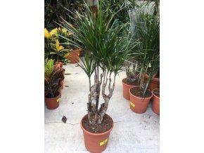 Dracaena marginata, dracena, původ rostliny Španělsko. 90 cm