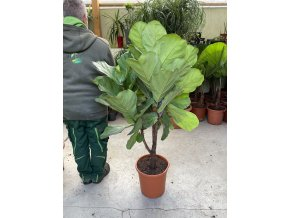 Ficus Lyrata, 140 cm