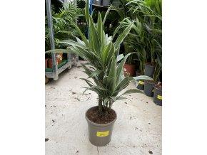 Dracaena deremensis, dracena, . 60 cm