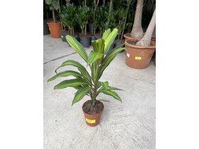 Corrdyline fruticosa surtido 50 cm