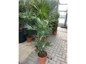 Livistonia Australis, 140 cm