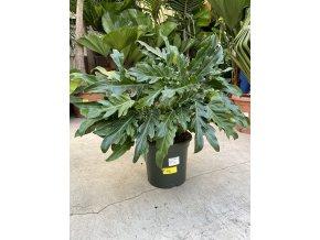 Philodendron xanadu, 70 cm