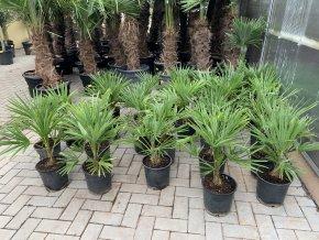 Trachycarpus fortunei, Konopná palma, mrazuvzdorná, původ palmy Španělsko,